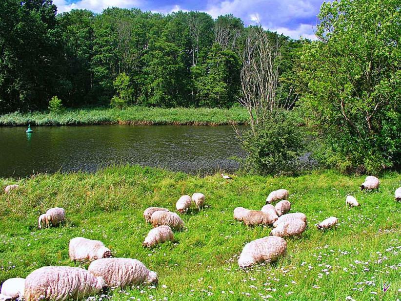 Schafe im Nationalpark Unteres Odertal