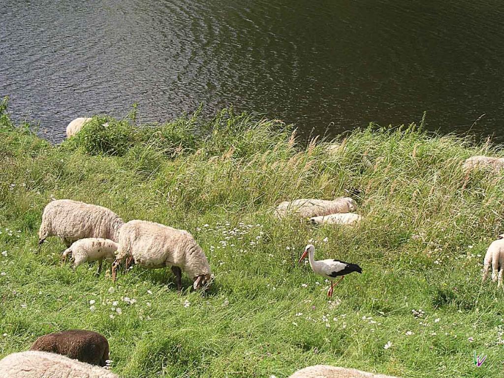 Storch und Schafherde