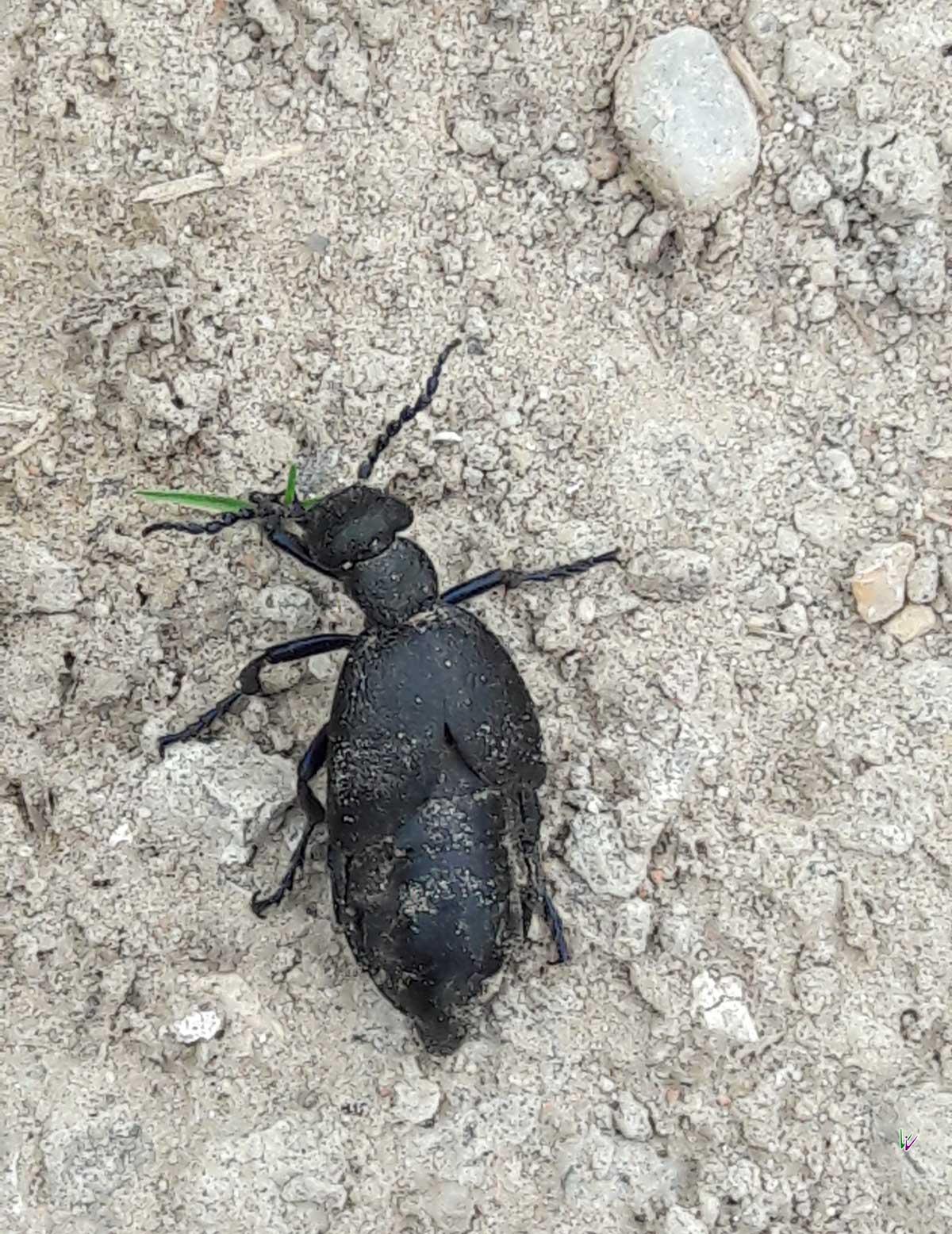 Schwarzblauer Oelkaefer in der Uckermark