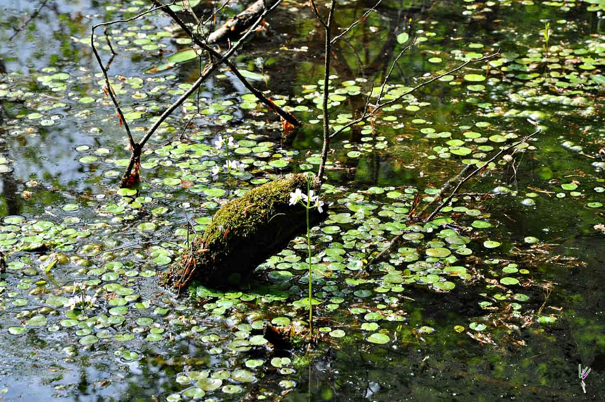 Sumpf im Grumsin