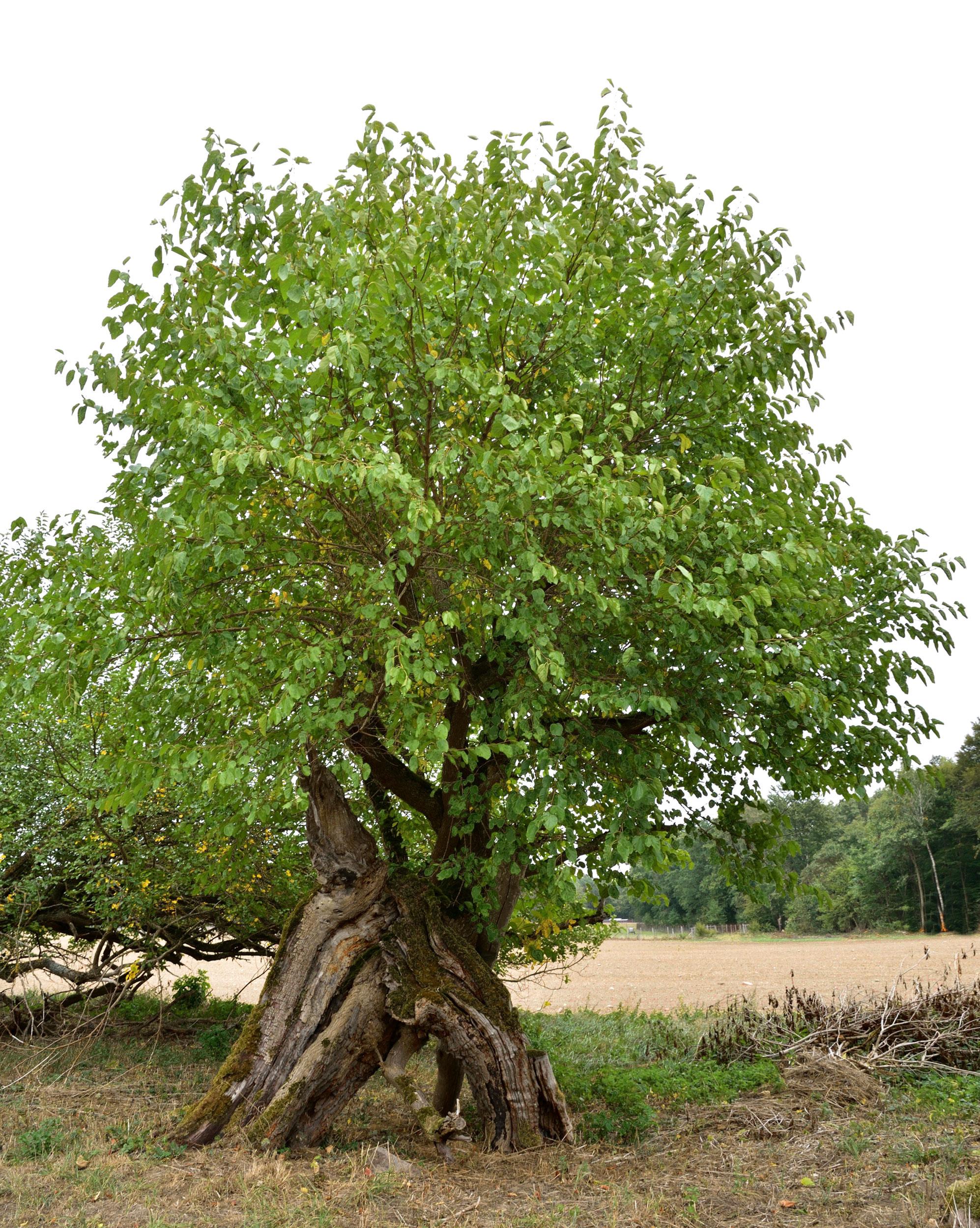 weisser Maulbeerbaum an der Strasse nach Burow
