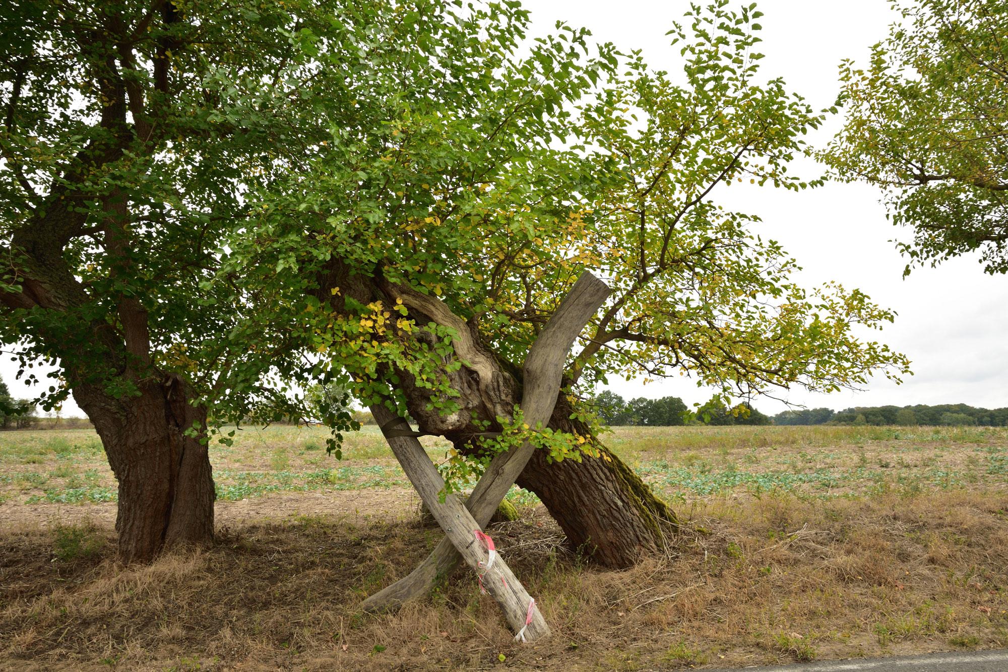 weisser Maulbeerbaum der Maulbeerallee in Zernikow