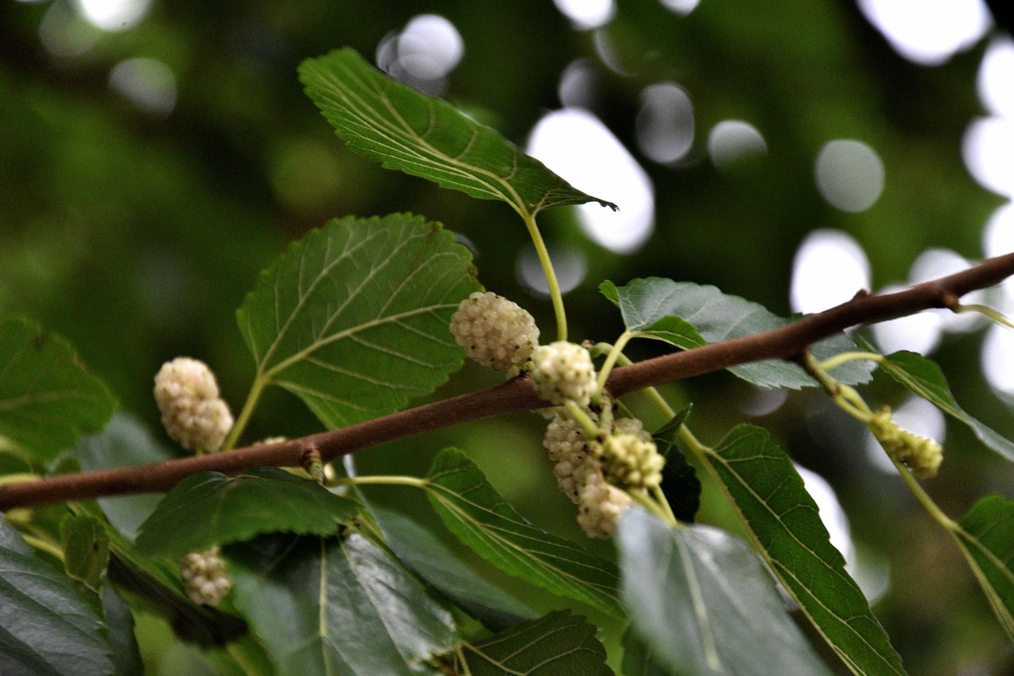 Zweig Maulbeerbaum