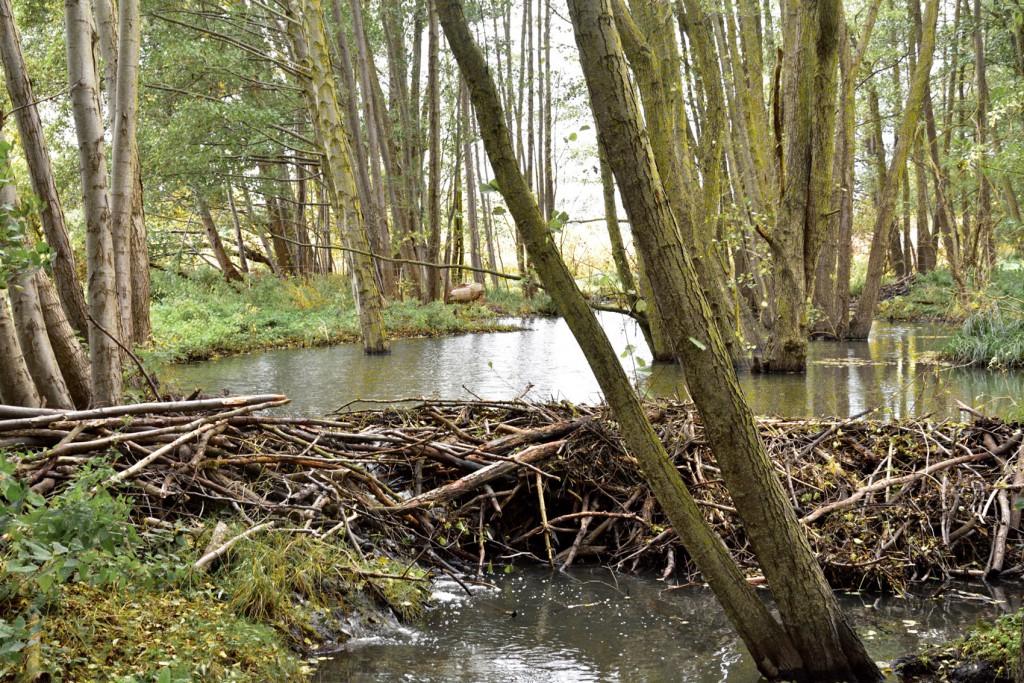 ein Bibedamm staut den Fluss