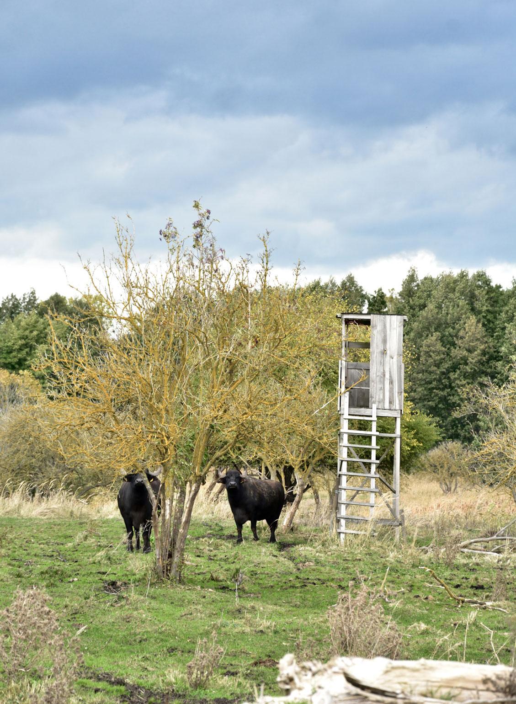 Wasserbüffel auf den Kavelwiesen