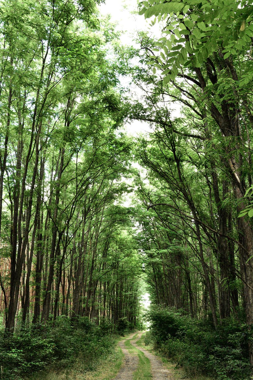 Waldweg Kossenblatt